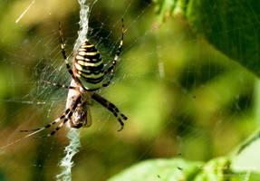 Wasp spider (Argiope bruennichi) with its prey by vertiser