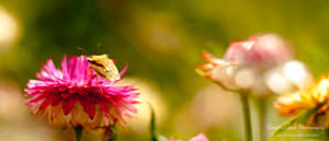 Picromerus bidens on a flower by vertiser