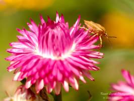 Shield bug on a summer flower by vertiser