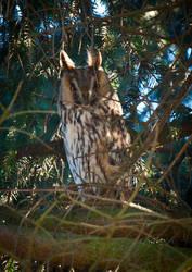 Long-eared owl by vertiser