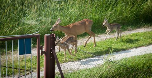 Roe deers by vertiser