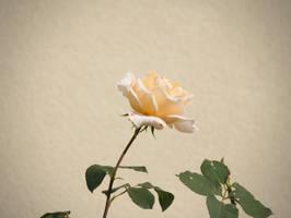 Tea Rose by vertiser