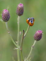 Ladybugs trio by orestART