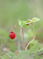 Wild strawberry by orestART