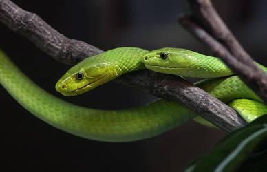 Green Mambas by orestART