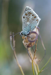 Arctic blue butterfly (Agriades glandon) by orestART
