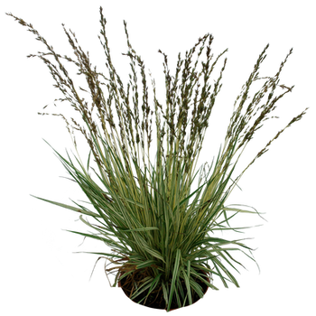 Grass 02 png by gd08