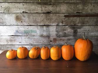 Pumpkins by Ceratopsia