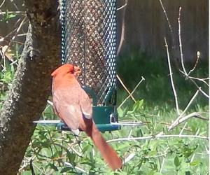 Cardinal4 by Geoffryn