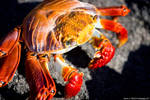 Sally Light Foot Crab Up Close by photoboy1002001