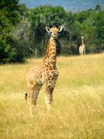 Rwanda-Baby Giraffe by margsifrenia13