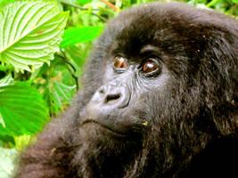 Rwanda-Female Gorilla 2 by margsifrenia13