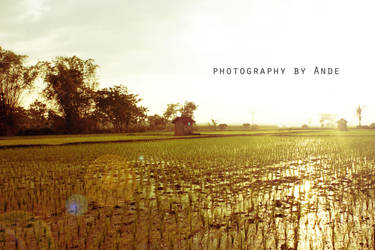 Rice field by andelumud