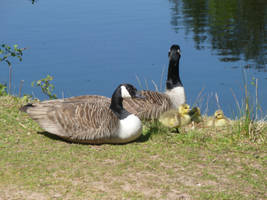 Another Canada Goose Family 5 by Captain-Art-hero
