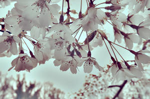 Its Raining Blossom !!! by grifasp