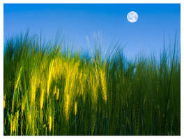 Moon Above the field of rye by eyeJ