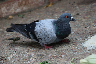 Pigeon from my backyard by shonechacko