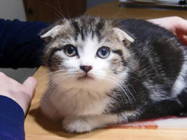 Scottish Fold Kitten by WhiteMelodys