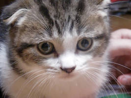 Scottish Fold kitten 3 by WhiteMelodys