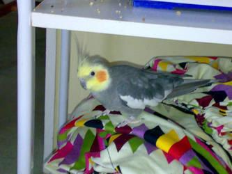 My pet bird Joey by Fastlegs