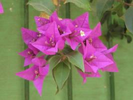 Pink Flowers by MaurogDark