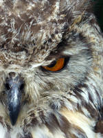 Owl Stare Bengal Eagle Owl by 0Iluvater0