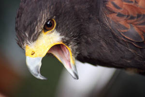 Harris Hawk Scream by 0Iluvater0
