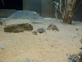 Texas Horned Toad Lizards 2 by Foxyeyes2012