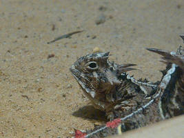 Texas Horned Toad Lizards 3 by Foxyeyes2012