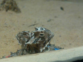 Texas Horned Toad Lizards 4 by Foxyeyes2012