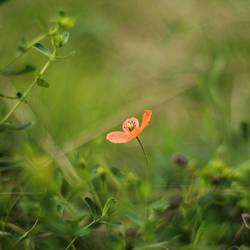 Mr Poppy by IndigoSummerr