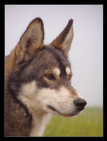Siberian husky 20 by Pawkeye