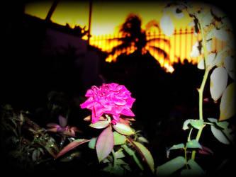 Rose by zda369