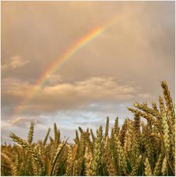 rainbow wheat by sassaputzin