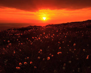 cottongrass at corn du by sassaputzin