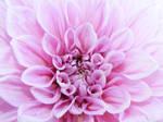 .:Pink:. by escaflowne006