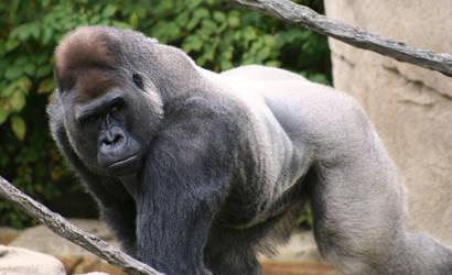 Silverback Gorilla by sarajeku