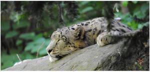 snow leopard by Y4mori