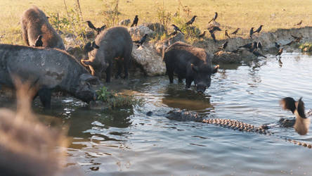 Hogs and Gators 1 - Everglades by Riastrad729