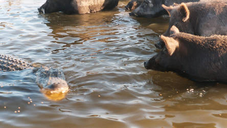Hogs and Gators 3 - Everglades by Riastrad729