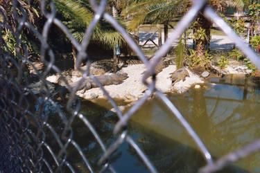Gator Pen2-Billie Swamp Safari by Riastrad729