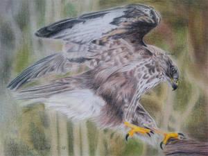 Common buzzard by BeckyKidus