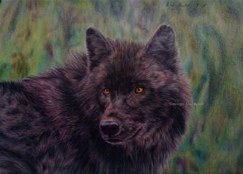 Black wolf by BeckyKidus