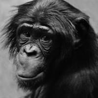 Bonobo by SarahVlad