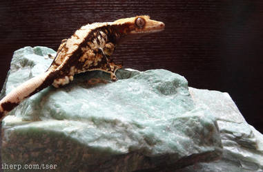 Crested Gecko by tser