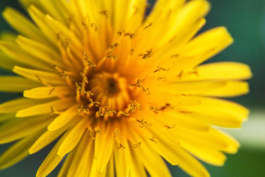 Yellow flower by mikabe