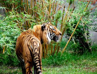 Tiger02 by fayechyld