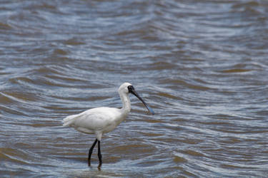 Royal Spoonbill (New Zealand) by conwaysuccess