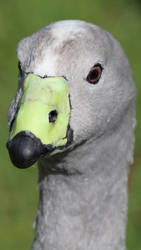 Cape Barren Goose (New Zealand) by conwaysuccess
