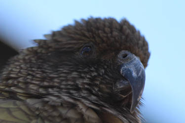 Kea (New Zealand) by conwaysuccess